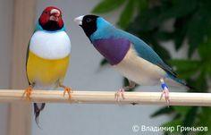 3 отметок «Нравится», 1 комментариев — Shehryar Saharan (@martinso12789) в Instagram: «Cамцы амадины гульда (Erythrura gouldiae). ---------- #птицы #амадины #амадина #амадинагульда…»