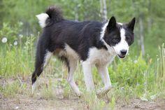 Page Not Found - Royal Canin Laika Dog, Purebred Dogs, Goats, Husky, Manga, Anime, Inspiration, Biblical Inspiration, Manga Anime