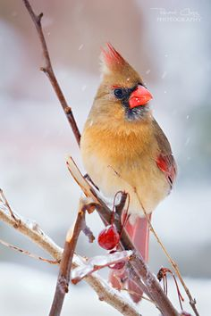 Northern Cardinal. Photo by RHCheng
