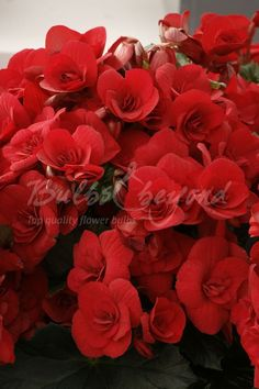 Buy beautiful double-flowered Begonia tubers online from Bulbs & beyond! These double flowered red begonias look stunning in pots or in your garden. Order begonia bulbs here. Summer Flowering Bulbs, Vivid Colors, Colours, Begonia, Hanging Baskets, Red Flowers, Good To Know, Container Gardening, Color Mixing