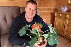 De Jatropha podagrica wordt in de volksmond ook wel flessenplant genoemd. Die naam dankt de kamerplant aan de dikke stam of knol die sprekend op een omgekeerde fles lijkt.In de stam slaat de plant water op, wat ook voor ons handig is, omdat de plant daardoor niet veel verzorging vraagt.