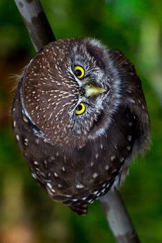 Patagonian Pygmy Owl
