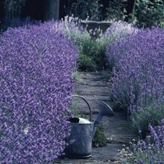 """""""Lavender, sweet lavender; come and buy my lavender, hide it in your trousseau…"""