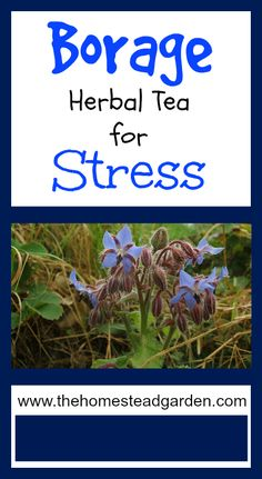 Learn how to use Borage Herbal Tea for Stress. Borage is a beautiful herb for anyone's garden and has some amazing medicinal benefits as well. Learn more in this post. Natural Health Remedies, Natural Cures, Natural Healing, Herbal Remedies, Au Natural, Healing Herbs, Medicinal Plants, Natural Medicine, Herbal Medicine