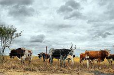 DSC_8405 Longhorn Cattle Herd Venus Texas Field Cattle Horns Calf Calves Sky Clouds Storm Autumn Fall Grass Rural Countryside Landscape Photography by Dallas Photographer David Kozlowski, via Flickr