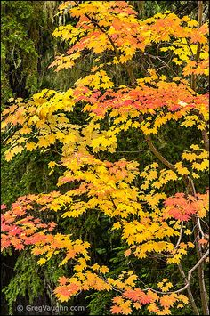 Vine Maple, Acer circinatum, grows in the conifer forest understory. Gifford Pinchot National Forest, Conifer Forest, Cascade Mountains, Maple Tree, Plantation, Small Trees, Trees And Shrubs, Mellow Yellow, Native Plants