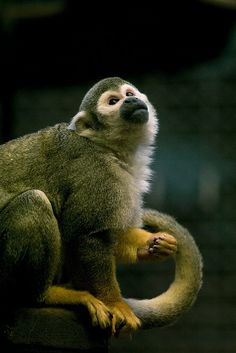 A squirrel monkey...I had then all over me in the local Zoo in Odense, Denmark.