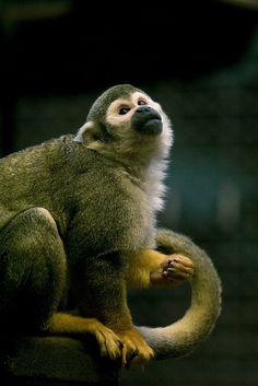 A squirrel monkey..