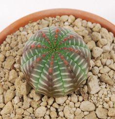 Cactus euphorbia-obesa