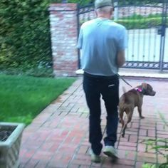 Sir Patrick Stewart and his foster pit Ginger out for an evening stroll. http://ift.tt/2mv216L