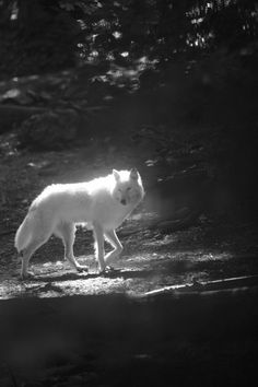 I so wanted to be the white wolf...but the black wolf's soul won't let me go....c