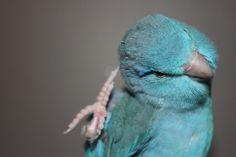 parrotlets | Pacific Parrotlet Forpus coelestis