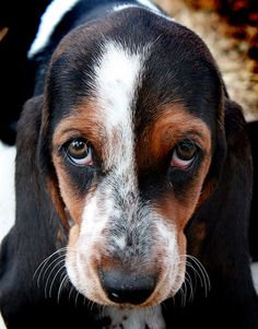 Look at that Beautiful Face - Basset Hound <3