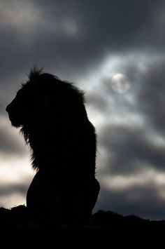 """the silhouette of a lion as he awaits the morning's wakeup call"" 
