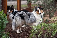 Tri and Blue Merle Shelties in the garden