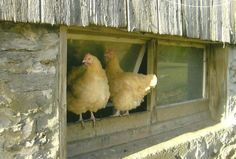 Farm Animal Photography Pair of Chicken Best Friends on Blank Note Card by TheOldBarnDoor,