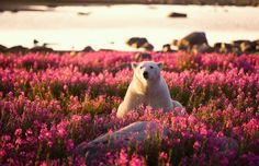 """nubbsgalore: """"photos by michael poliza in churchill, manitoba of a polar bear amongst the fireweed waiting for the hudson bay to freeze over. noted michael, """"the polar bear was all by himself as they. Flower Pictures, Animal Pictures, Beautiful Creatures, Animals Beautiful, Save The Polar Bears, Baby Animals, Cute Animals, Wild Animals, My Spirit Animal"""