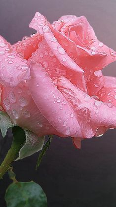 Pink Chinese Rose Flower With Water Drops  #iPhone #5s #wallpaper