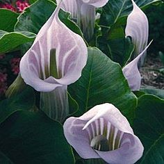 """Striped Cobra Lily:  Fascinating pink flowers from June to July are captivating with dark stripes and a sweet scent. Mysterious and exciting when planted with ferns and hostas. #1 field-grown plants. Arisaema candidissimum    Zones: 5-9  Light: Partial Shade to Full Shade  Height: 12""""  Width: 18""""   Deer tend to avoid."""