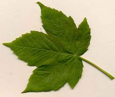 sycamore leaf, love a sycamore tree!