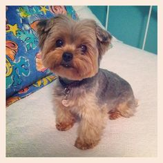 Teddy Bear Yorkie Haircut - Bing Images