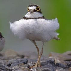 Little Ringed Plover (Charadrius dubius) Cute Birds, Pretty Birds, Beautiful Birds, Animals And Pets, Funny Animals, Cute Animals, Exotic Birds, Colorful Birds, Chicken Images