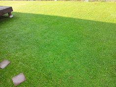 クラピアの絨毯です。 #イワダレソウ #クラピア #kurapia