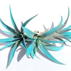 Turquoise Air Plant mix of 3 Free Plants, Air Plants, Indoor Plants, Air Plant Terrarium, Terrariums, Air Plant Display, Pick And Mix, Heat Pack, Plant Holders