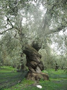 An ancient olive tree in Pelion, Greece.