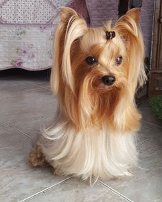 Do you know about Yorkshire Terriers? by L&G PET Photo by Pixabay from Pexels The Yorkshire Terrier originally originate. Yorky Terrier, Yorshire Terrier, Yorkies, Yorkie Puppy, Maltipoo, Pomeranian, Yorkshire Terrier Haircut, Yorkshire Terrier Puppies, Cute Puppies