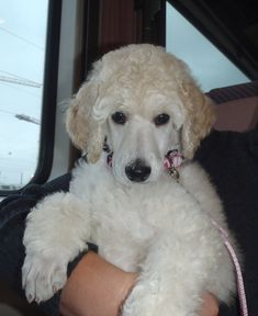 """Outstanding """"poodle pups"""" information is offered on our web pages. Have a look and you wont be sorry you did. Essay Writing, I Love Dogs, Cute Dogs, French Poodles, Standard Poodles, Poodle Grooming, Schnauzer Grooming, Poodle Cuts, Animals"""