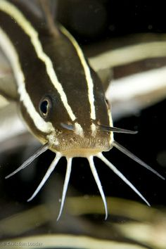 """Striped Eel Catfish - Mine is named """"Whiskers"""" Tropical Freshwater Fish, Tropical Fish, Freshwater Aquarium, Underwater Creatures, Underwater Life, Beneath The Sea, Under The Sea, Orcas, River Monsters"""