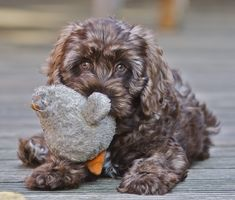 So I don't need a puppy, but how cute is this?    Chocolate Sable Cockapoo puppy
