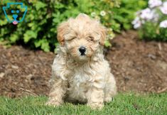 Charlie | Maltipoo Puppy For Sale | Keystone Puppies