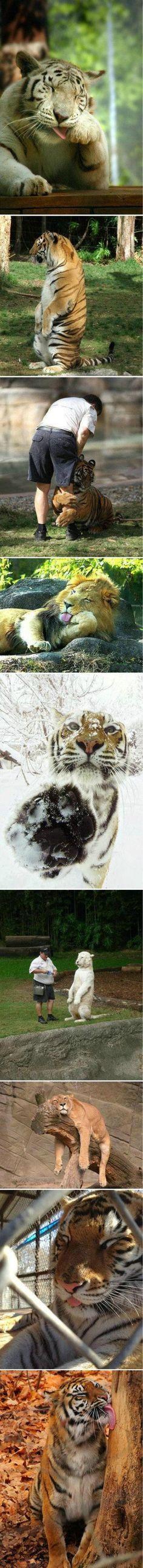 蠢萌的大猫...来自小怪兽反攻奥特曼的图片分享-堆糖