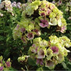 Phlox paniculata 'Sherbert Blend' - Cold Hardy Perennials - Perennials - Avant Gardens Nursery & Design 9.95