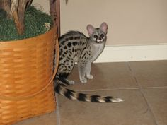 For around $600 you can have this crazy critter who acts like a cat on crack! Wild and fast but fun loving. Will eat small animals/birds and does best with no other pets and older children. Likes outside time but should have a cage. Loves attention but wild.
