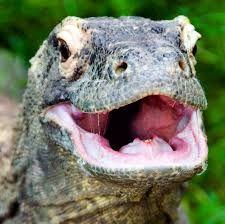 Image result for komodo dragon