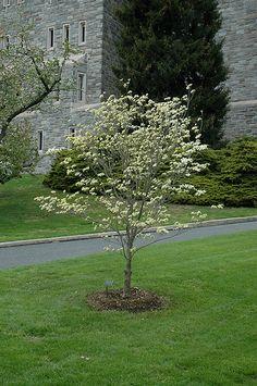 Cornus florida 'Appalachian Spring'