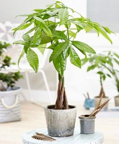 Low light indoor plants are the key to indoor gardening! Houseplants can be tricky but this list is fully of easy plants to care for! Indoor Plant Pots, Best Indoor Plants, Outdoor Plants, House Plants Decor, Plant Decor, Begonia, Pachira Aquatica, Feng Shui Plants, Best Air Purifying Plants