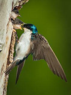 Tree Swallow feeding a Halloween Pennant dragonfly at nest