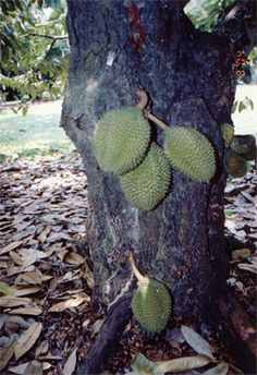 Durian kura-kura (Durio testudinarium) grows fruits on tree trunk. This rare durian tree is not cultivated and only grown wild in Borneo rainforest.