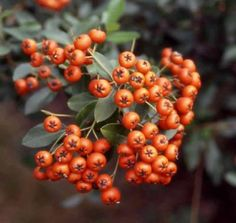 Shrub Scarlet Firethorn Pyracantha: Don't cut back in fall. It will kill the shrub. Yellow Shrubs, Colorful Shrubs, Ficus, Garden Shrubs, Garden Plants, Cape Gooseberry, Evergreen Hedge, Berry Plants, Foundation Planting