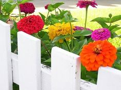 Ohhhh, love the colorful flowers against the white fence! Now if only I could grow zinnias without the slugs feasting on them every night....