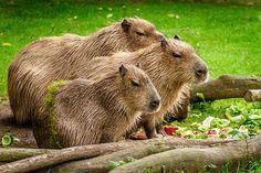 Capybara, Wasserschwein, Gruppe