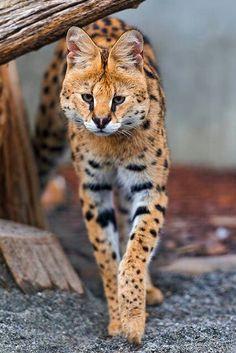 Serval -- I got to meet one at Busch Gardens in tampa