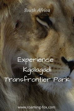 What you can experience in the Kgalagadi Transfrontier Park. #safari #nationalpark #Kgalagadi #SouthAfrica #wildlife #wildanimals #predators East Africa, North Africa, All About Africa, List Of Animals, Wildlife Safari, Us National Parks, Game Reserve, The Dunes, Africa Travel