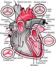Heimlich valve - definition of Heimlich valve by Medical dictionary
