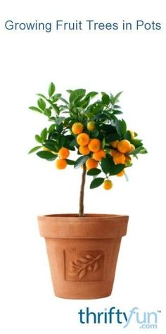 Orange Tree Container Care: Can You Grow Oranges In A Pot Orange Tree Container Gardening – Best Orange Trees For Pots Dwarf Fruit Trees, Growing Fruit Trees, Citrus Trees, Orange Trees, Orange Fruit, Orange Color, Indoor Plant Pots, Thing 1, Potted Trees