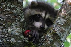 Google Image Result for http://www.wired.com/images_blogs/wiredscience/images/2008/07/11/racoon2.jpg